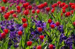 6-tulips