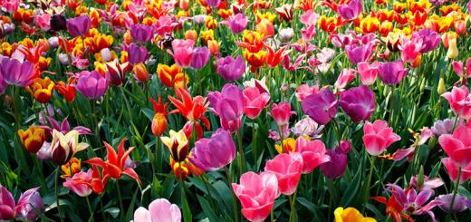 7-tulips