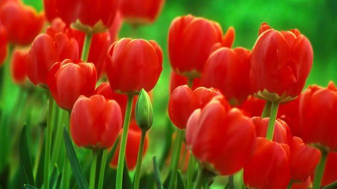 2-tulips